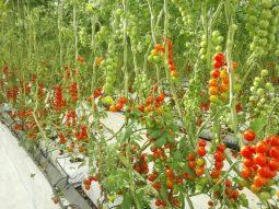 Cherry tomato in soil less media