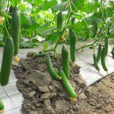 Cucumber fruting in NVPH