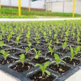Seedling in Protray