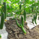 Cucumber fruting in NVPH