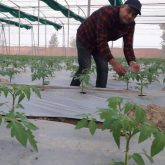 Tomato seedling in AINH